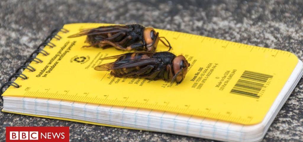 """""""Se você os encontrar, corra e ligue-nos!"""": Cientistas nos EUA EUA Eles alertam sobre a chegada das """"vespas assassinas"""""""
